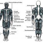 Muscoli e Tendini